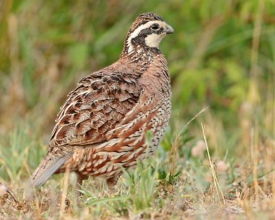 ​As Southeastern grasslands have disappeared​, so have the species that rely on them, including the Northern bobwhite.