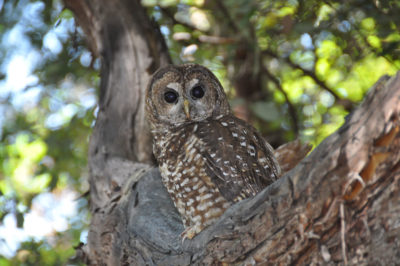 Northern spotted owl.
