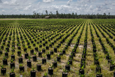 Indonesia's 2011 deforestation moratorium did not ban logging on land already approved for oil palm or pulp operations, such as this oil palm concession in Ketapang, West Kalimantan.
