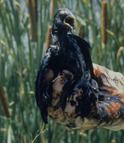 A bird covered in oil at a wastewater pit in central Kansas.