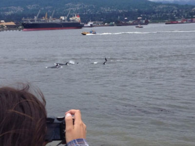 A pod of killer whales, also known as orcas, cruises past oil tankers in Burrard Inlet in Vancouver.
