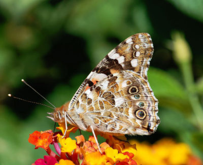A painted lady butterfly (Vanessa cardui).