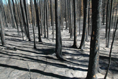 Ash blankets the forest floor [left] immediately following the Las Conchas fire in 2011. Today, 108,000 acres of burned forest have been restored through strategic thinning and prescribed burns.