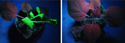 "A plant (left) infected with the tobacco mosaic virus, visible in fluorescent markings, compared to a plant (right) treated with a double-stranded RNA ""vaccine,"" which activated its immune system."