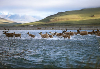Migrating caribou in the Arctic Refuge's coastal plain.