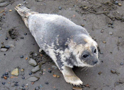 This ringed seal suffered from a mysterious disease that afflicted walruses and seals along Alaska's northern coast for several years starting in 2011.