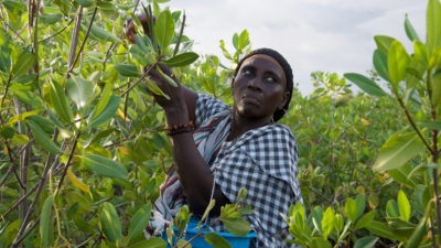 "Niodior resident Saly Sarr picking ""propagules"" from older mangrove trees that will be used to regenerate bare spots among the new saplings."