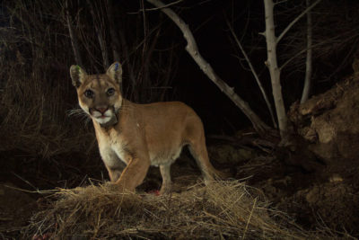 A female mountain lion, known as P-35, spotted outside of Los Angeles.