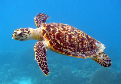 A Hawksbill Sea Turtle, which is listed as a critically endangered species.
