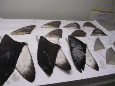 Scientists can genetically analyze shark fins to determine whether they were illegally obtained.