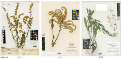 Three examples of the dozens of historical goldenrod records kept in the Smithsonian Botany Collections. The specimens were collected in Arizona, Florida and Alabama (left to right). Scientists recently used the Smithsonian archives to measure how protein in pollen has been affected by rising atmospheric CO2 levels.