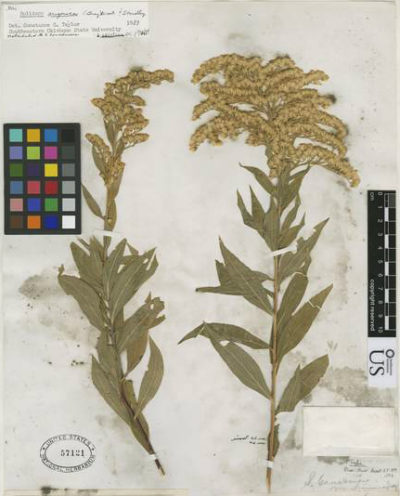 Goldenrod samples collected in Arizona in 1874, housed in the Smithsonian's botany archives.