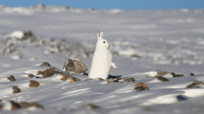 Snowshoe hares have been shifting their range north at the rate of more than five miles a decade in response to declining snow cover.