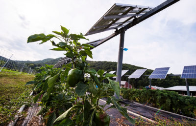 Crops grow under solar panels on a farm in South Deerfield, Massachusetts.