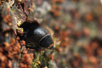 The spruce beetle (Ips Typographus) has expanded its range across Europe and Siberia.