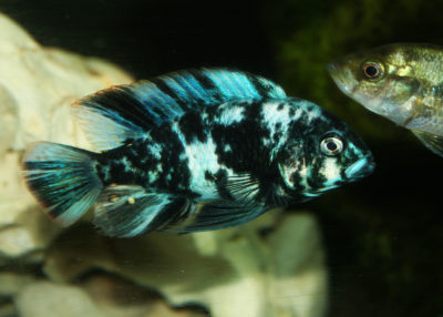 A Makobe fish (Neochromis omnicaeruleus), a type of cichlid, in the tanks of hobby aquarist Greg Steeves.