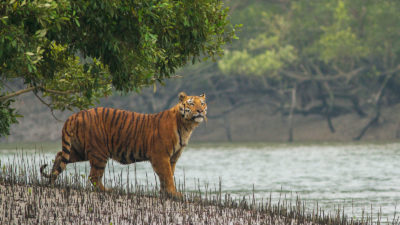 A Bengal tiger in the Sundarban Tiger Reserve, West Bengal, India.