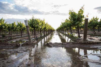 This farm in Fresno County, California was flooded last year with water from the nearby Kings River to replenish the aquifer below.
