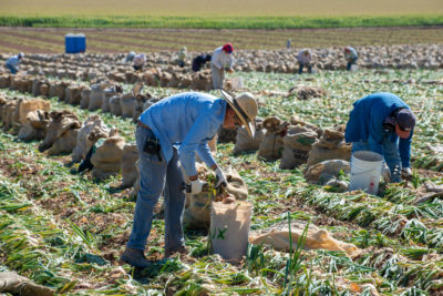 Farmworkers harvest yellow onions in Colorado's Gunnison Valley. Agriculture uses about 80 percent of the Colorado River's water to irrigate 6 million acres of crops.
