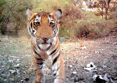A tiger cub peeks into a remote wildlife camera in the Bhadra Tiger Reserve in southwest India.