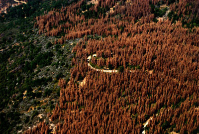 Bark beetles have ravaged 85,000 square miles of forest in the western United States since 2000, including this area in California as seen in 2016.