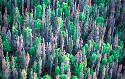 Trees killed or damaged by bark beetles in Colorado in 2010.