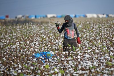 A woman harvests cotton, one of Turkey's major cash crops, in southern Adana Province.