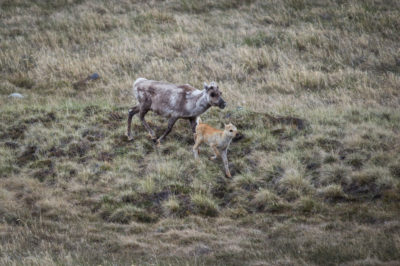 In years with early plant growth, caribou produce the fewest calves. Those that are born are more likely to die young due to nutritional stress.