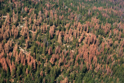 Aerial view showing dead trees in Sequoia National Forest in August 2016.