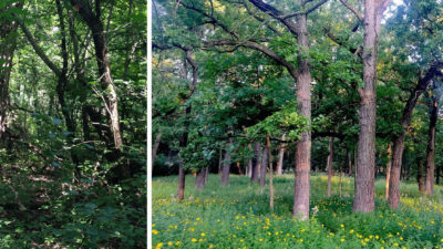 The stand of old-growth oak trees was once choked by a thicket of buckthorn plants [left]. Now, healthy bur oaks stand free of invasives.