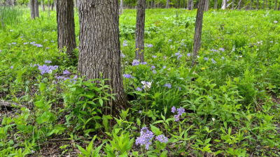 Woodland phlox, shooting stars, and golden Alexanders now ornament the forest floor in spring.