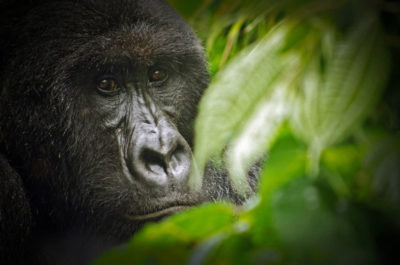 There are just under 1,000 mountain gorillas alive today, most of whom live within Virunga National Park.