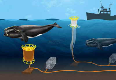 Ropeless technology uses an acoustic signal to release a lobster trap on the ocean bottom, rather than a line to the surface that can entangle whales.