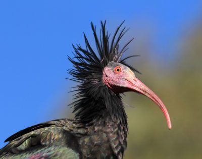 As a waldrapp matures, the unfeathered areas of it head and neck turn from grey to red.