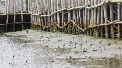 A natural sea barrier, built using bamboo and brushwood, in the village of Timbulsloko. The structures help catch sediment, allowing mangroves to take root and regrow.