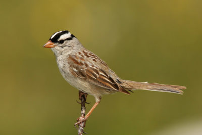 Even common species like the White Crowned Sparrow, pictured here, are struggling to adapt to climate change fast enough.