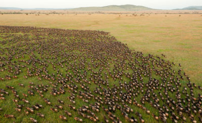 More than 1.5 million wildebeest migrate annually across Tanzania's Serengeti National Park, which covers 5,700 square miles.