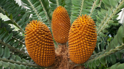 A male Wood's cycad, Encephalartos woodii, of South Africa. The species survives today only in cultivation.