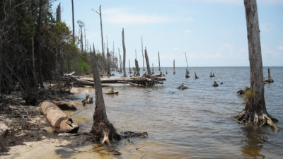 Dead and dying trees on the shores of the Albemarle Sound in North Carolina.