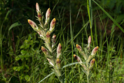 Southeastern grasslands have some of the highest plant richness in the world, home to rare species like American Chaffseed.​
