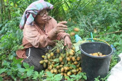 A Batak woman harvests betel nuts, a major crop in northern Sumatra.