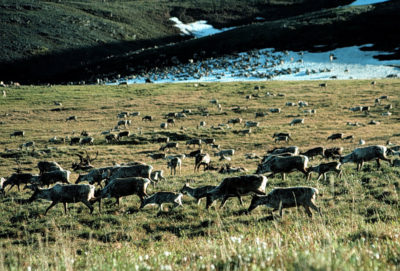 Caribou graze in the Arctic National Wildlife Refuge in Alaska.