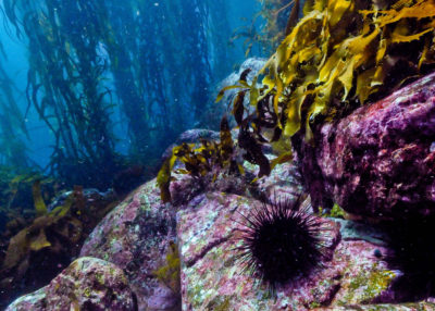 The progression of the destruction of a kelp forest in Tasmania by urchins, from left to right. The Australian island state has lost more than 95 percent its kelp forests in recent decades.