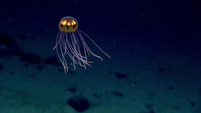 A jellyfish at 12,000 feet in the western Pacific Ocean.