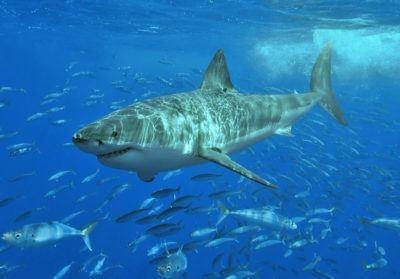 A great white shark near Isla Guadalupe, Mexico in the Pacific Ocean.