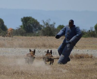 Known for high energy and attack capability, Malinois dogs form the core of Ol Pejeta's K9 unit.