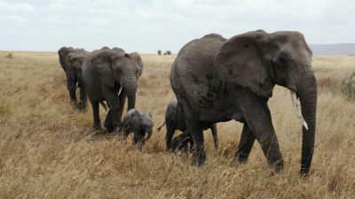 African elephants in Serengeti National Park, Tanzania.