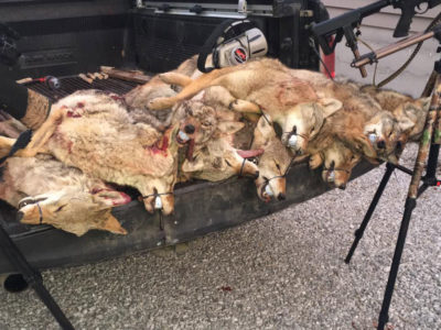 Coyotes killed at the Southern Illinois Predator Challenge in 2017.