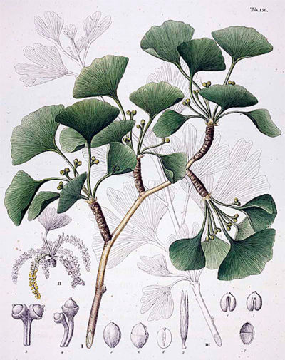 An early Western botanical illustration of Ginkgo biloba, published in Europe in 1835.