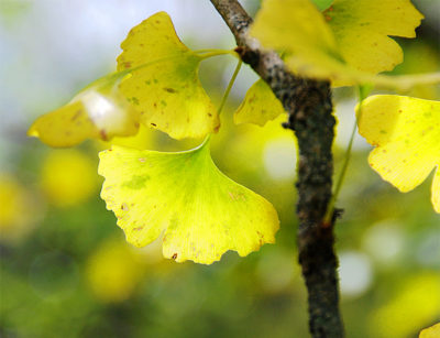 Ginkgo leaves in the autumn.